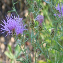 Spotted Knapweed Flower Head With Dark Tip Bract