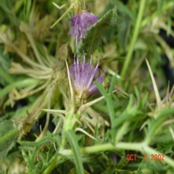 Purple Starthistle Flower